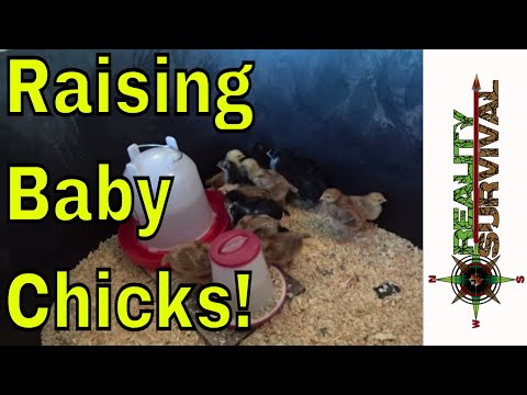 We Are Raising Baby Chickens! Chicks! Chickies!