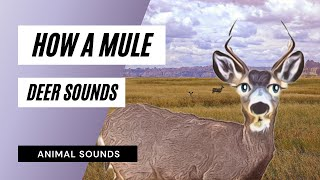 How A Mule Deer Grunt, Snarl - Sound Effect - Animation