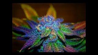 Amazing Marijuana Plants