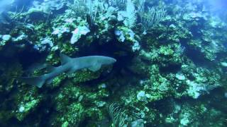 Nurse shark cruising in Belizean waters