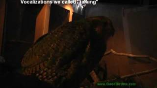 Sirocco The Kakapo Vocalizes