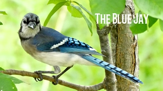 Blue Jay  | Trailguide Pictures |
