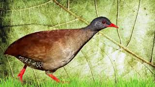 Canto da lambu pé vermelho fêmea
