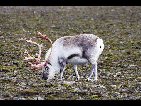 Till Svalbard för att undersöka hur betande djur påverkar vegetationen på tundran