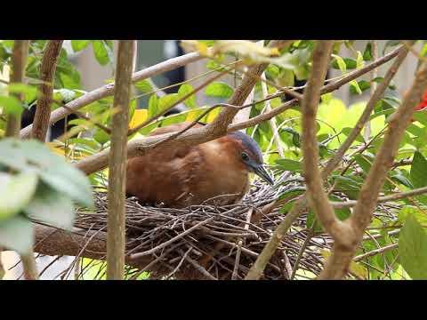 黑冠麻鷺20180417無聲版 - YouTube