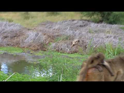 Kruger Park_Baboons3.MOV