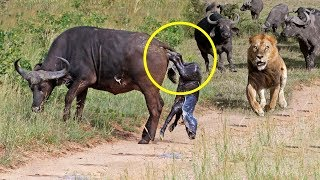 Mother Buffalo Gives Birth To Baby But Killed By Lions - Lion vs Buffalo Battle is not never