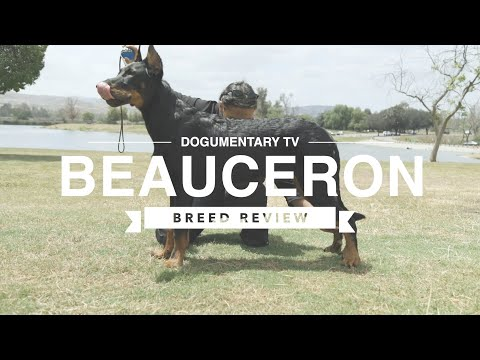 BEAUCERON BREED REVIEW