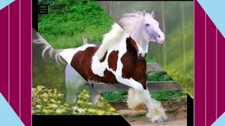 Os cavalos com a música de Ludmila e Belo