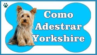Como Adestrar um Yorkshire? - Aprenda a Como Adestrar Um Cachorro Yorkshire