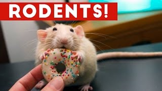 Incredible Rat & Rodent Videos of 2016 Weekly Compilation   Funny Pet Videos