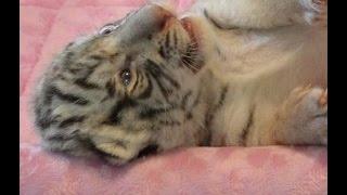 Hear me ROAR, yawn, sleep cutest white tiger cub