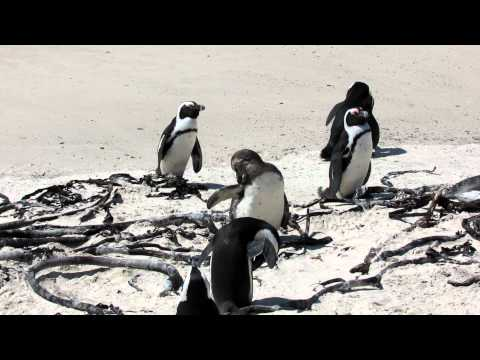 African Penguins South Africa 2012 099.MOV