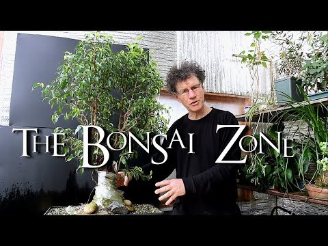 Ficus benjamina Fusion project Update, The Bonsai Zone, April 2018