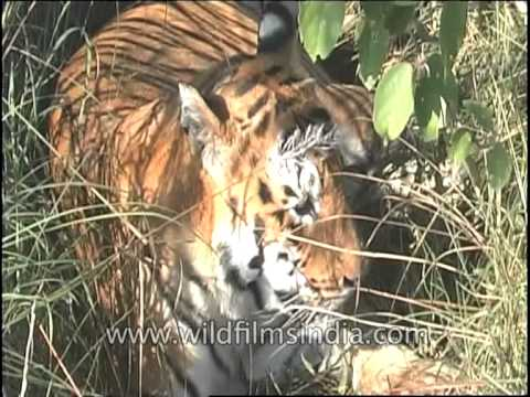 Tiger basking in the sun after having heavy meal