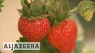 Japan portable farm heads for Qatar