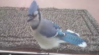 Dancing Blue Jay