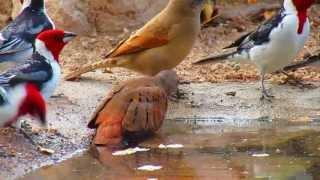 Rolinha-roxa / Ruddy Ground-Dove (Columbina talpacoti)