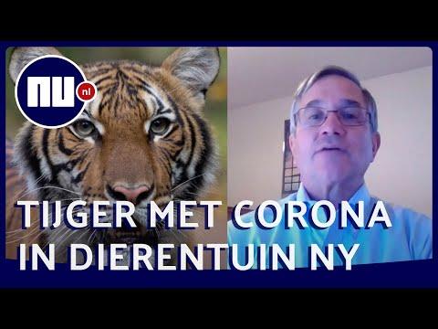 Dierenarts Bronx Zoo: 'Coronavirus bij tijger verbaasde iedereen'   NU.nl