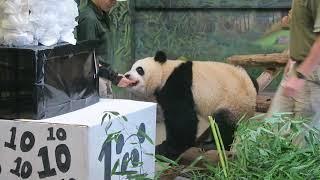 Giant panda Jia Pan Pan Supervises