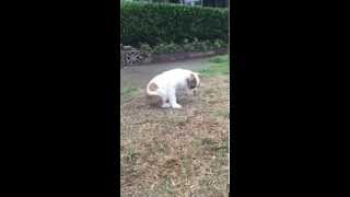 Bulldog puppy experiences rain for first time