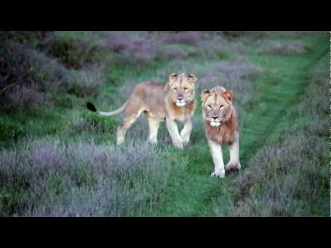 Game Drive Highlights Reel at Kwandwe: Lions, Elephants & More