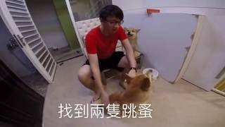 狗狗有跳蚤怎麼辦?【柴犬 我是Happy,她是蜜獎】