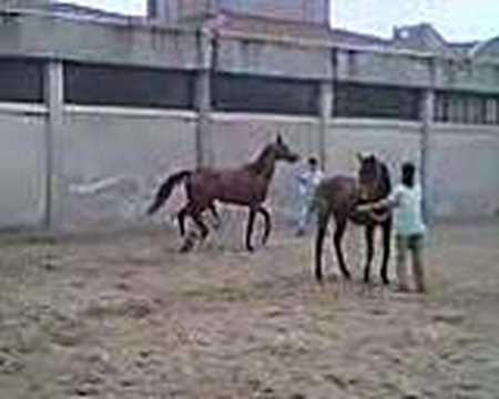 at atlar çiftleşme copulating