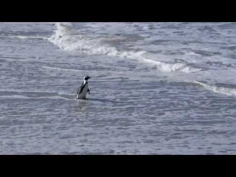 Boulders Beach, African Penguins walk along the shoreline. Simon's Town. South Africa.