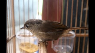 Burung Flamboyan Gacor width=