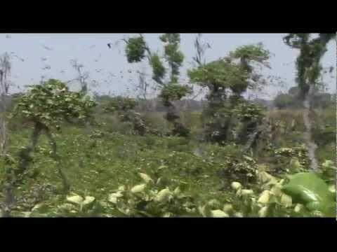 Zambia   Kasanka -Fruit Bats