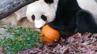 Giant Panda Bei Bei and his Halloween Pumpkin