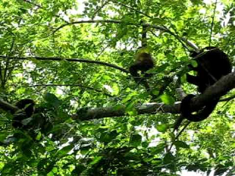 Three Monkeys Doing Their Thing Low Res Video