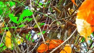 Passaros e cigarras  cantando e muito som da natureza em reserva ecologica para relaxar a mente