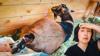 This mama delivered FAST & FURIOUS! (miniature goat birth)