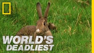 Stoat Hypnotizes Rabbit | World's Deadliest