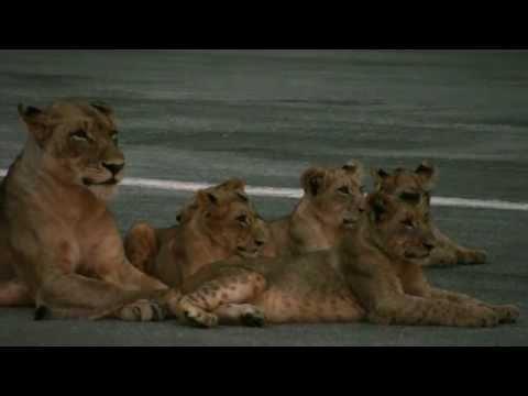 Pride Politics: Mala Mala (Kruger National Park), South Africa