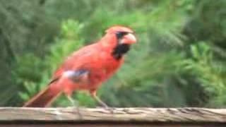 Cardinal Vs. Blue Jay