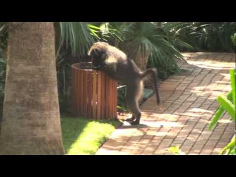 Baboons in South Africa