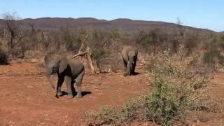 Cute baby elephant charging