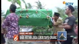 Warga di Kebumen, Jawa Tengah, Tewas Diserang Babi Hutan - Liputan 6 Siang