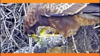 Hawk Tears Head off Baby Bird