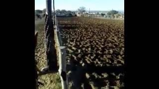 vaquejada de campos sales ce vaqueiros romario e lano rep. sitio baixao