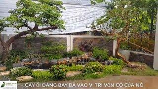 *HỒ CÁ KOI ĐẸP* Hồ cá Koi biệt thự sân vườn Tây Hồ Tây sau 2 tháng