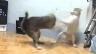 Bruce Lee kitty fight with sound effects,funny!