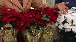 """Set of 3 18"""" Poinsettia Plants by Valerie on QVC"""