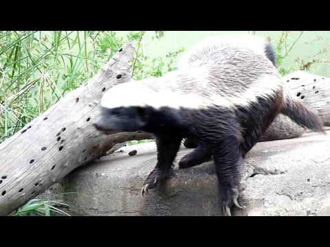 Honey Badger acting out his anxiety at being caged up