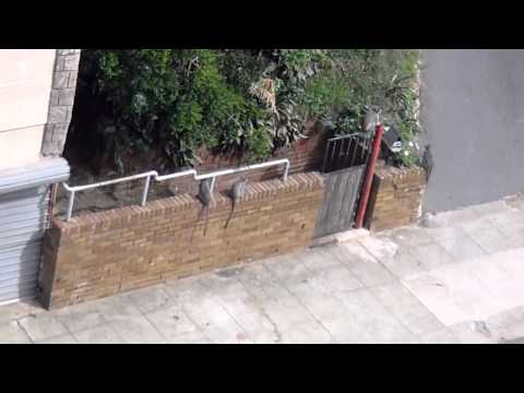Wild Monkeys in Durban, South Africa trying to steal fruit