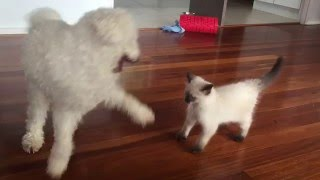 Kitten UFC fight moves against dog. cats being jerks Milbank