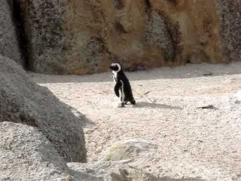A Penguin's Parade